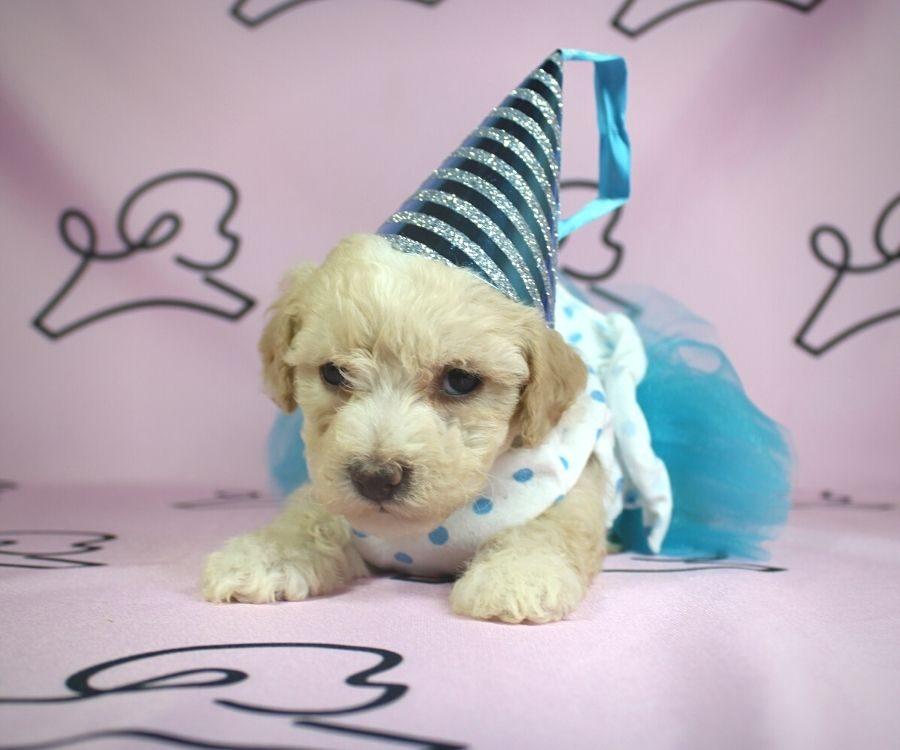 Jenavive - toy poodle puppy in Las Vegas:Los Angeles.3