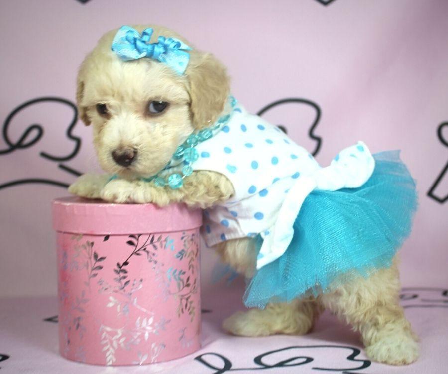 Jenavive - toy poodle puppy in Las Vegas:Los Angeles.4