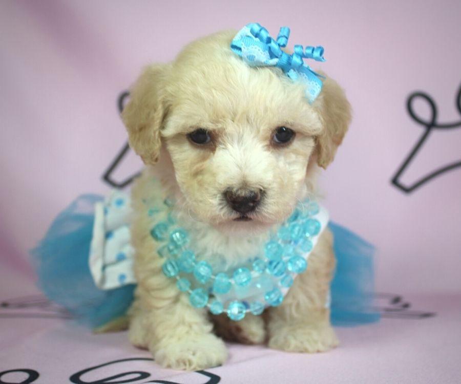 Jenavive - toy poodle puppy in Las Vegas:Los Angeles.5