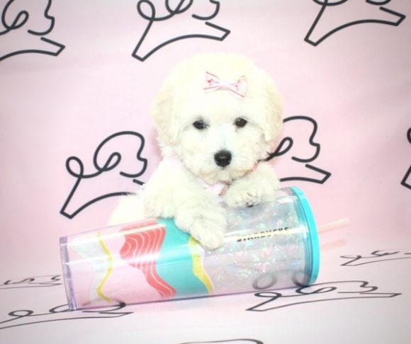 Jimena - Teacup Poodle Puppy For Sale By Breeder.2