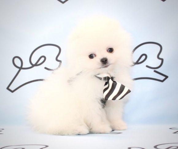 John F.K. - Toy Pomeranian Puppy Near Los Angeles.3