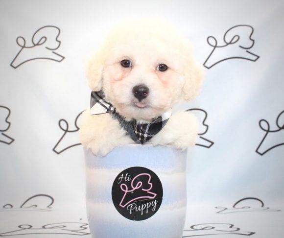 Jon Snow - Teacup Maltipoo Puppy in Las Vegas.1