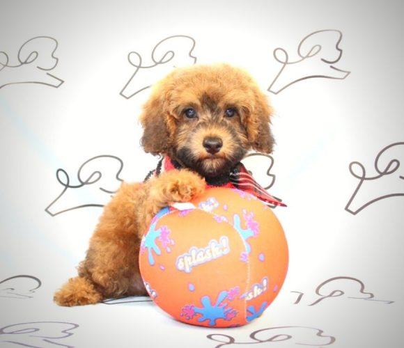 Juniper - toy poodle puppy in Las Vegas:Los Angeles.2