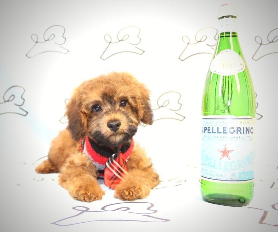 Juniper - toy poodle puppy in Las Vegas:Los Angeles.3