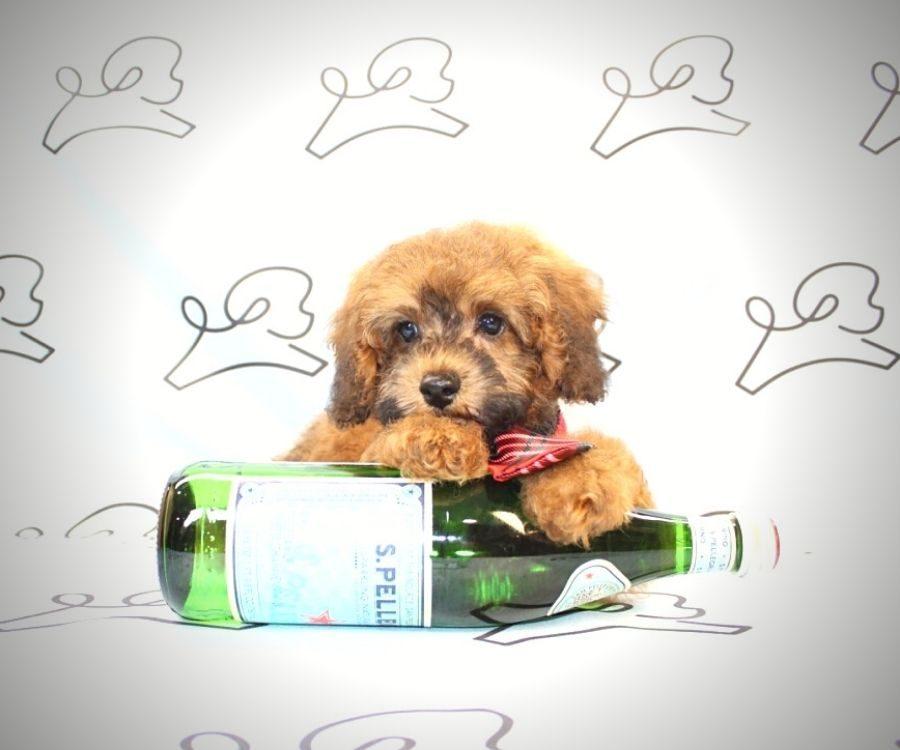 Juniper - toy poodle puppy in Las Vegas:Los Angeles.4