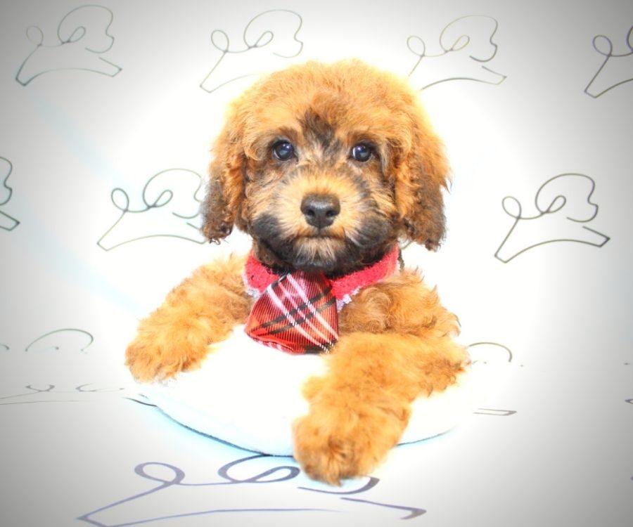 Juniper - toy poodle puppy in Las Vegas:Los Angeles.5