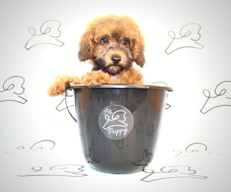 Juniper - ty poodle puppy in Las Vegas:Los Angeles.0