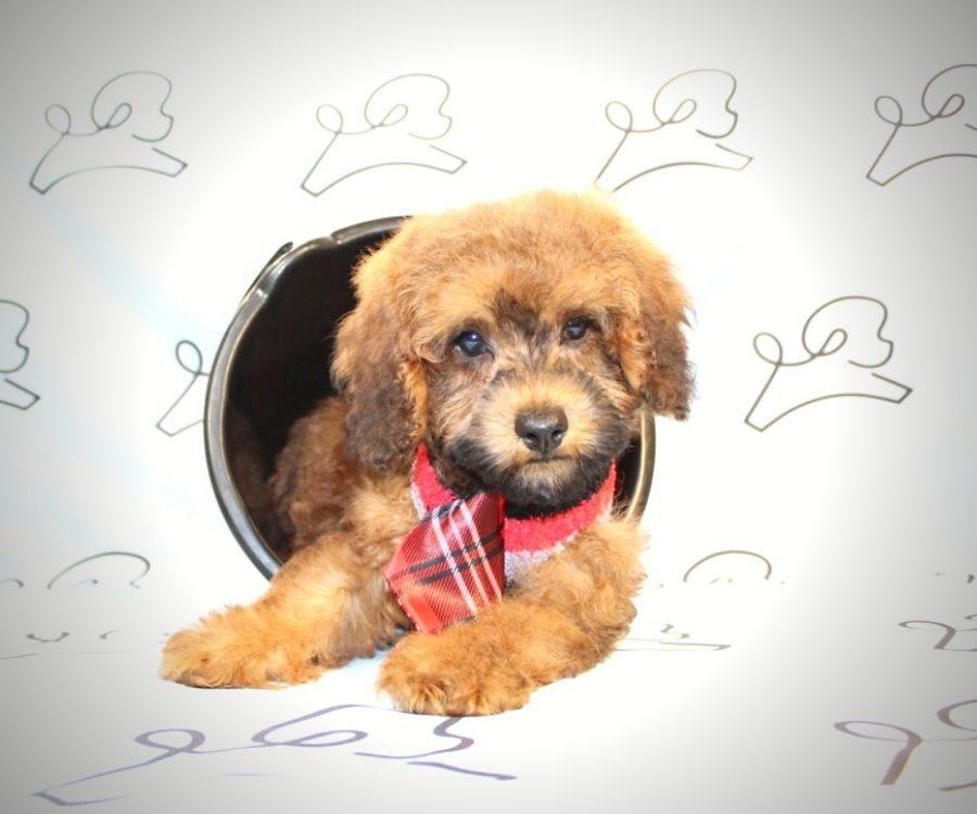 Juniper - ty poodle puppy in Las Vegas:Los Angeles.1