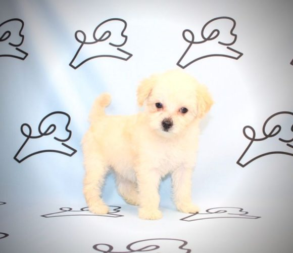 Justin Beiber - maltipoo puppies for sale in Los Angeles.4