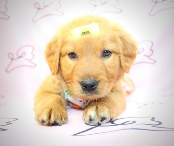 Karishma - golden retriever for sale in Santa Monica.4