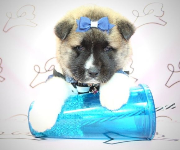 Kimi - Akita puppy in Henderson NV.1
