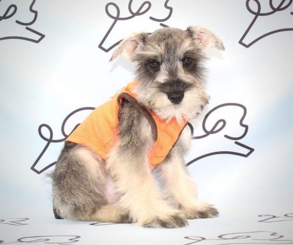 King Von - Schnauzer Puppy.0