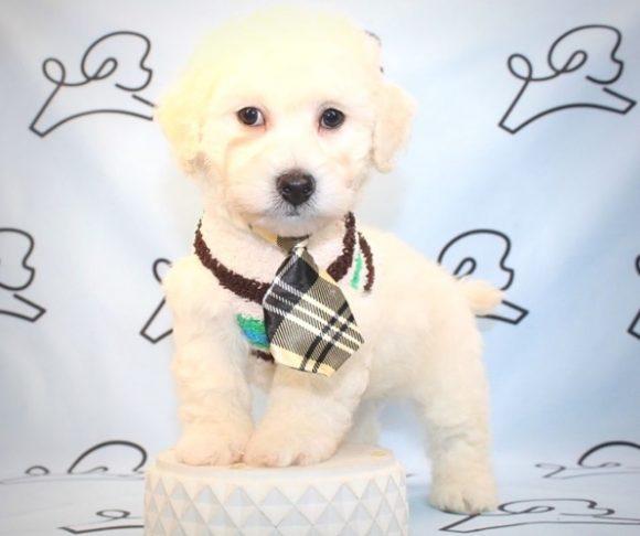 Knotts - Toy Maltipoo Puppy near Los Angeles.1