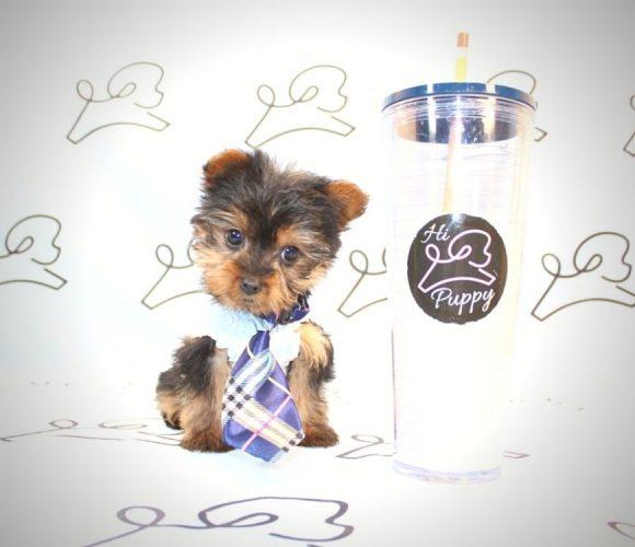 Knox - toy yorkie puppy in Las Vgeas:Los Angeles.2