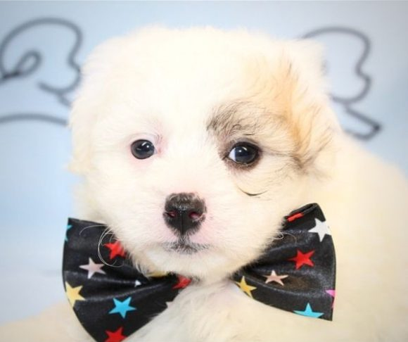 Kublai - maltipoo puppies for sale in Los Angeles.4