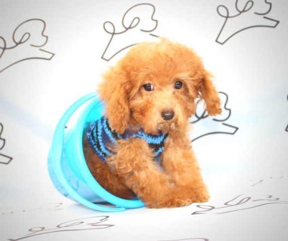 Kung Pao - Teacup Poodle Puppy in Las Vegas.1