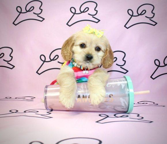 Lady- cockapoo puppy in Las Vegas:Los Angeles.5