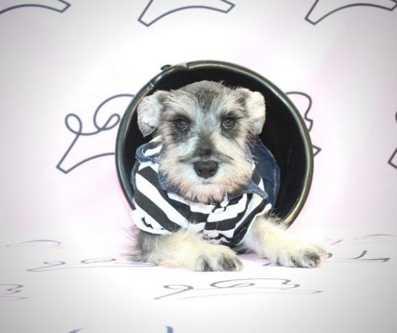 Lava - Schnauzer Puppy.4
