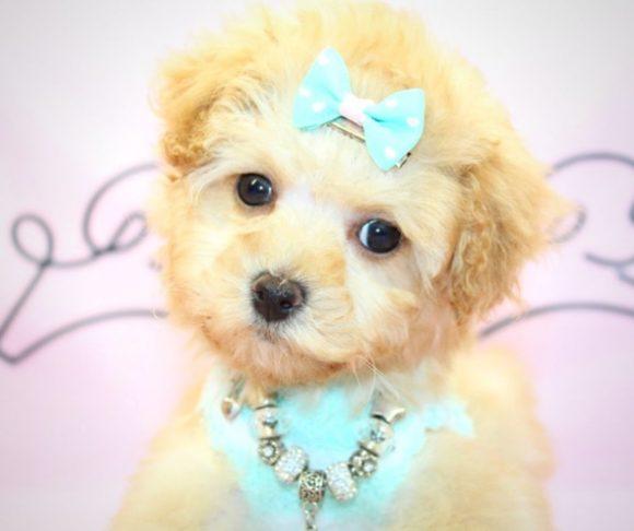 Lenny - Miniature Poodle puppy near Santa Monica.4