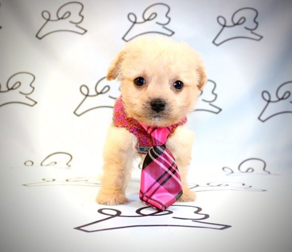 Leonard - teacup maltipoo puppy in Las Vegas:Los Angeles.1