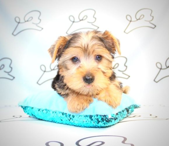 Lionel Richie - yorkie puppies for sale near me.0