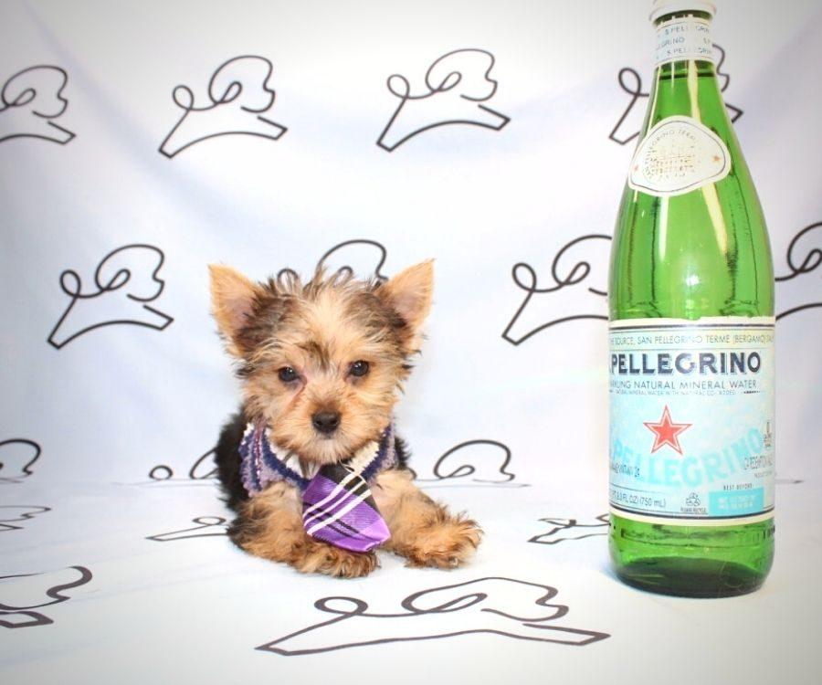 Loki - teacup yorkie puppy in Las Vegas:Los Angeles.0