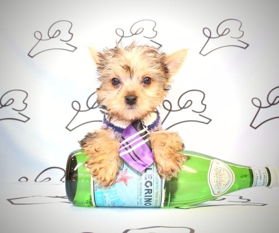 Loki - teacup yorkie puppy in Las Vegas:Los Angeles.1