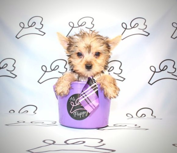 Loki - teacup yorkie puppy in Las Vegas:Los Angeles.2
