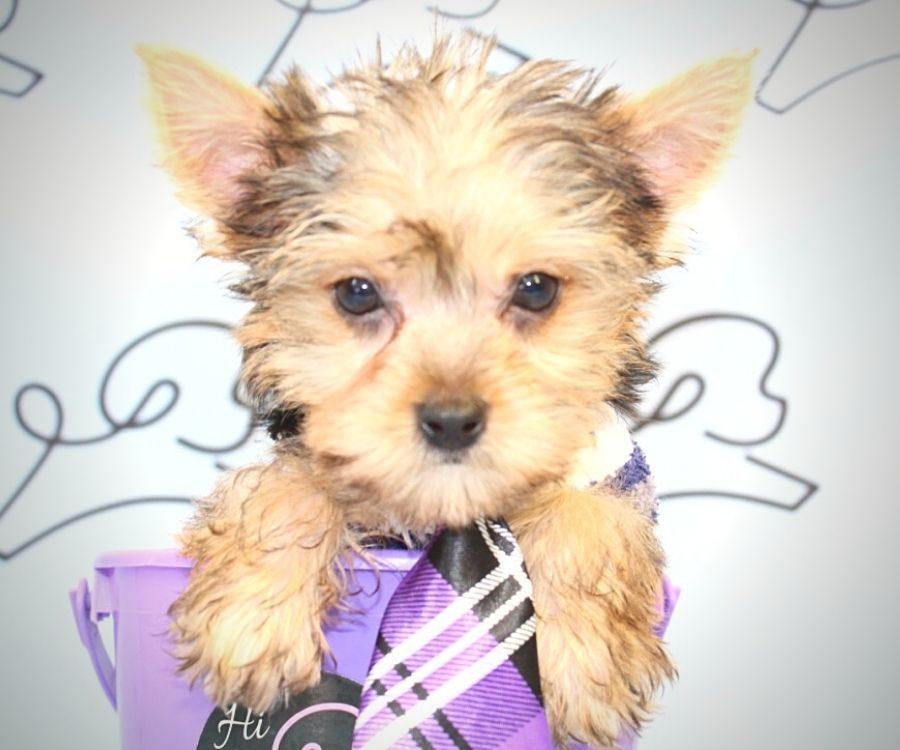Loki - teacup yorkie puppy in Las Vegas:Los Angeles.3