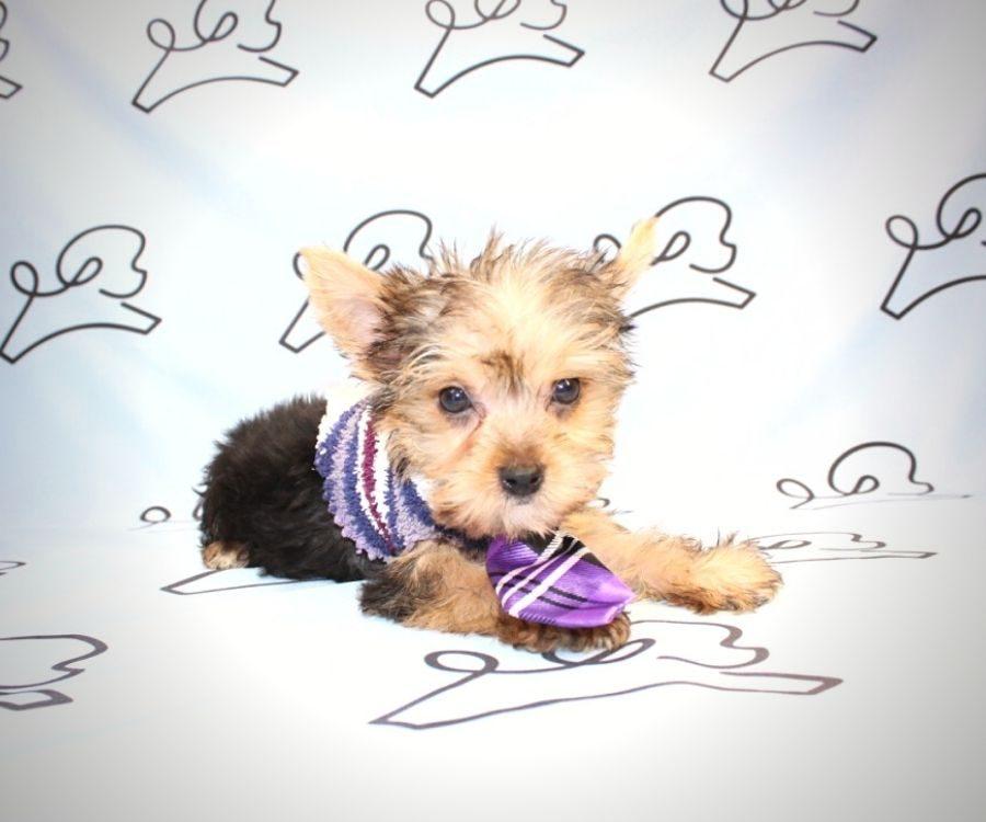 Loki - teacup yorkie puppy in Las Vegas:Los Angeles.4