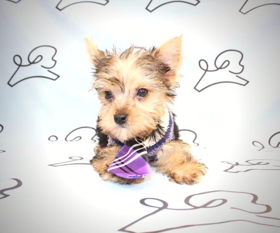 Loki - teacup yorkie puppy in Las Vegas:Los Angeles.5