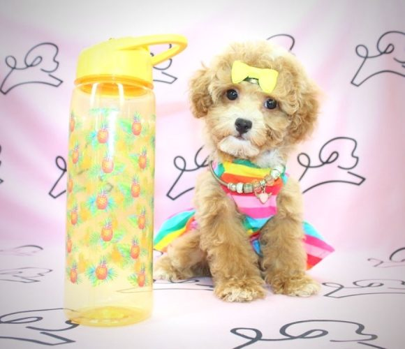 Lola Bunny - toy poodle in San Diego.0
