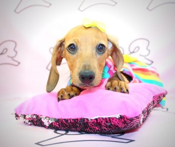Lola - dachshund for sale in Long Beach.1