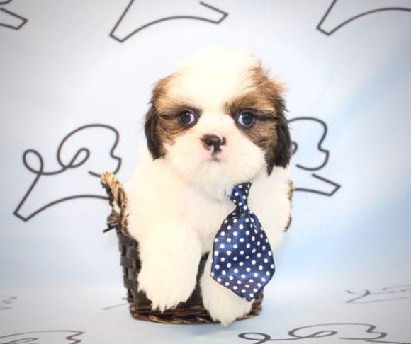 Lord - Shih Tzu puppies in Las Vegas.3