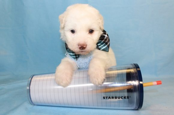 Lux - Toy Maltipoo Puppy7