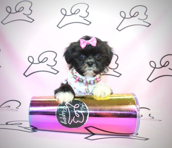 Maleficent - shih tzu puppies for sale near me.2