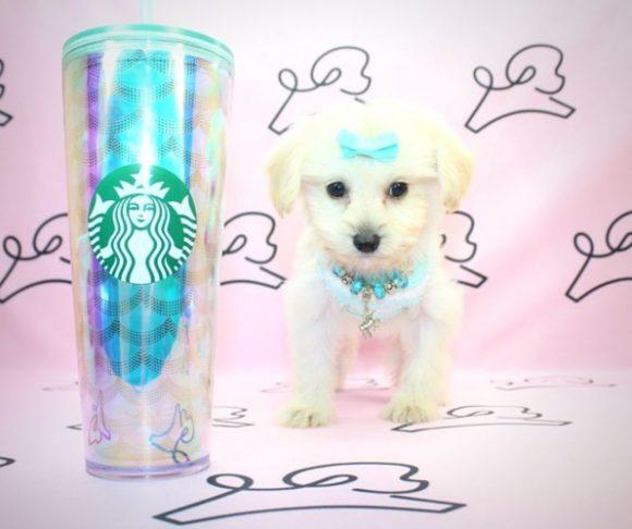 Margott Robbie - Teacup Maltipoo puppy near Los Angeles.0