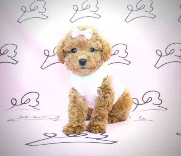 Mariah Carey - teacup poodle in Santa Monica.2
