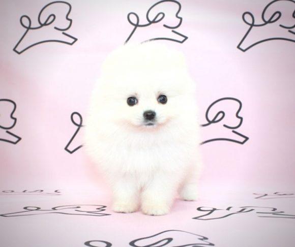 Marilyn Monroe - Teacup Pomaranian Puppy For Sale.3