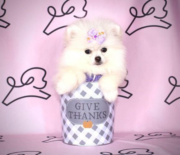 Marlene - toy pomeranian puppy in Las Vegas:Los Angeles.4