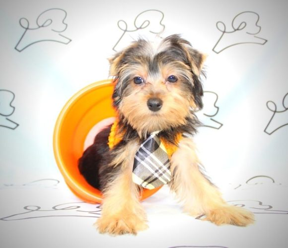 Marvin the Martian - yorkie puppies for sale near me.2