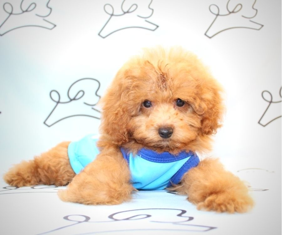 Mater - miniature poodle in Los Angeles.0