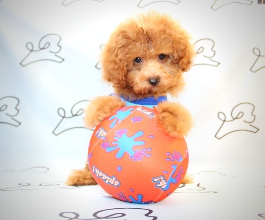 Mater - miniature poodle in Los Angeles.1