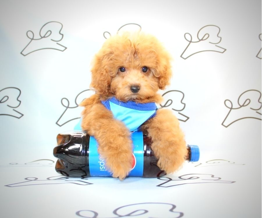 Mater - miniature poodle in Los Angeles.2