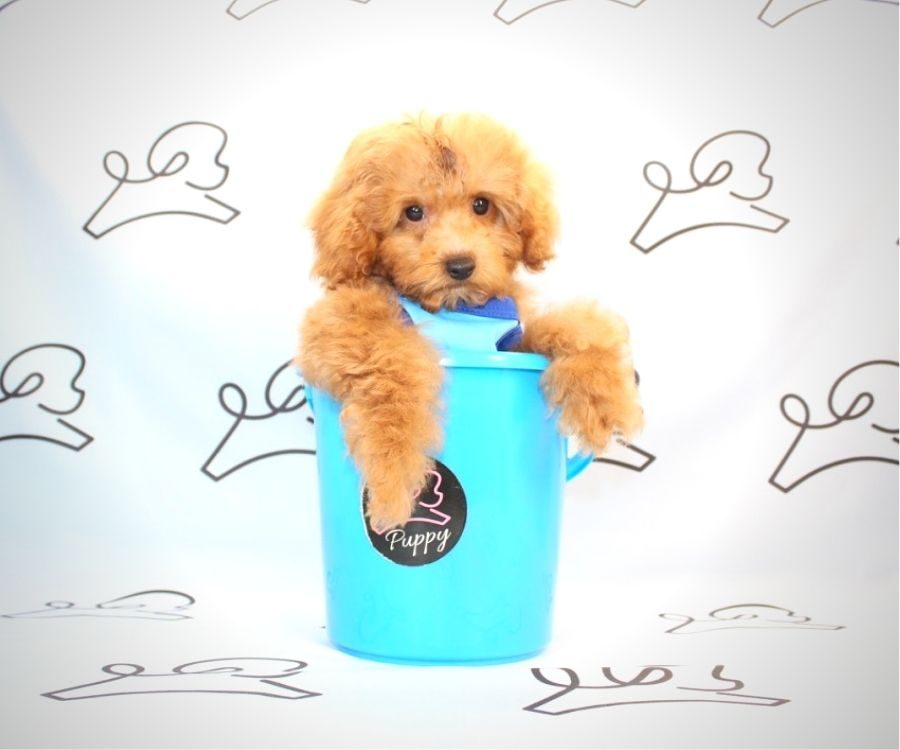 Mater - miniature poodle in Los Angeles.4