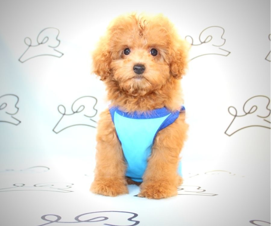 Mater - miniature poodle in Los Angeles.5