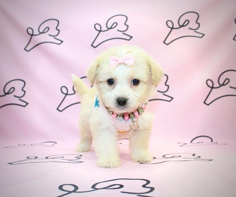 Matilda- toy frenchpoodle puppy in Las Vgeas:Los Angeles.5