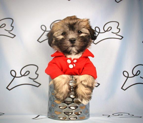 Max - Toy Shih-Poo puppy in Las Vegas:Los Angeles.2