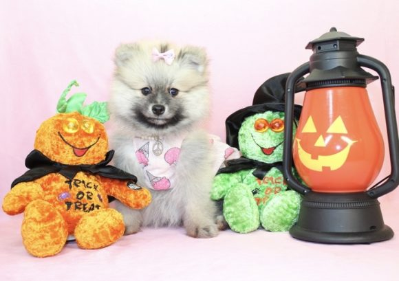 Melania - Toy Pomeranian Puppy2