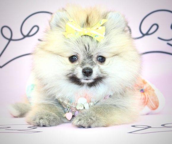 Millie - Teacup Pomeranian Puppy near Long Beach.1